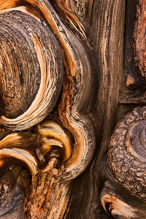 Bristlecone Pine Abstract 4
