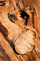 Bristlecone Pine Abstract 5