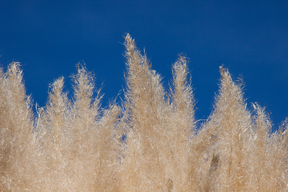 Ornamental Grass 6